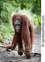 Orangomodel. - Indonesia.Borneo. Rain-forest. Camp Leakey...