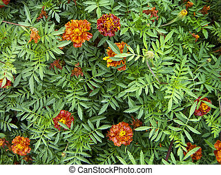 Tagetes - Orange-red flowers Tagetes against green leaves....