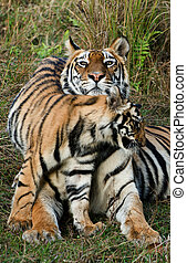 Tigress with a kitten - India Bandhavgarh National Park...