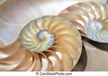 fibonacci pattern in cross section nautilus sea shell -...