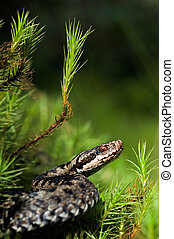 Viper prepare for attack./ Vipera berus, the common European...