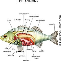 Anatomy of fish - Vector illustration of Anatomy of fish