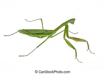 mantis - A green mantis crawling on a white background