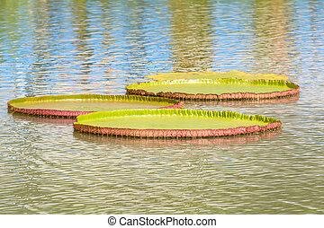 Victoria waterlily or Victoria amazonica - Victoria is a...