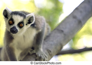 ring-tailed lemur looking straight ahead