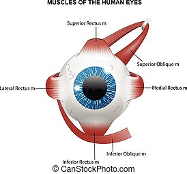 Muscles of the human eyes - Vector illustration of Muscles...