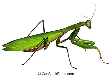 Mantis on a white