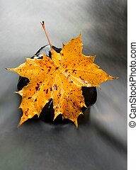 The colorful broken leaf from maple tree on basalt stones in...