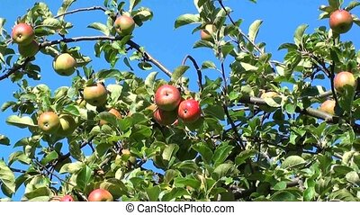 Red Apples Zoom out - Beautiful red apples hanging on branch...