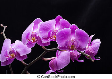 Pink streaked orchid flower, isolated on black background
