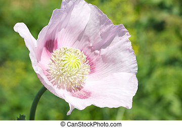 Head of pink poppies over natural background