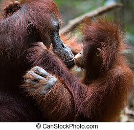 Kissing mum The kid the orangutan gently kisses the mother...