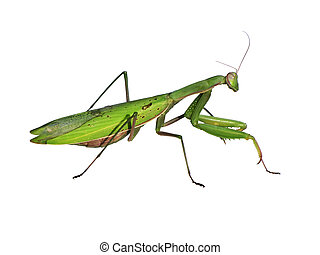 Mantis on a white background