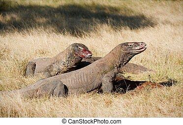 Komodo dragons feast.