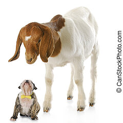 puppy and goat - goat looking down over puppy with...