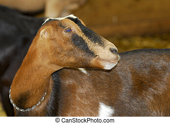 dairy goat - goat in a barn - purebred LaMancha goat