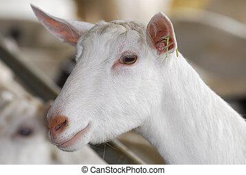 dairy goat - Saanen dairy goat portrait - purebred