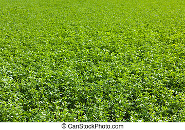 alfalfa field - large alfalfa field in french country