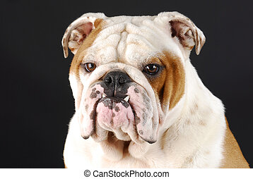 english bulldog portrait - male english bulldog with bottom...