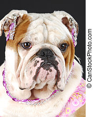 female english bulldog - adorable english bulldog wearing...