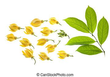 Climbing Ylang-Ylang flower wtth leaf, Manorangini,...