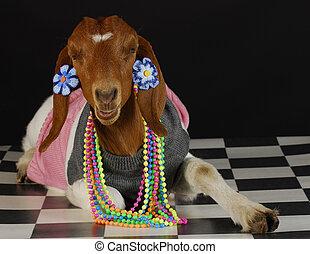 femininas, cabra