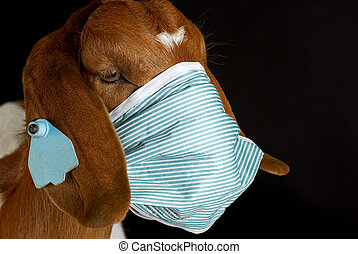 animal health - goat wearing medical mask - purebred south...