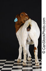rearview of goat - goat doeling cleaning herself viewed from...