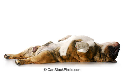 sleeping dog - english bulldog laying on back stretched out...