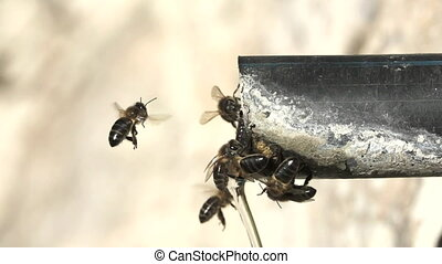 Closeup of bees drinking water in pipe - Super slow motion...