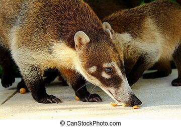 White nosed Coatis - White Nosed Coatis eating nuts against...