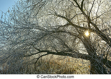 trees with rime frost crystals in winter time - willow trees...