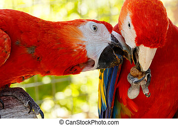 Red parrots in love. - It is my nut you can not have it...