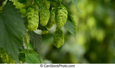 Closeup of ripe hop cones on the field. Raw material for...