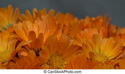 marigold herb flower blooms. clockwise turntable. - marigold...