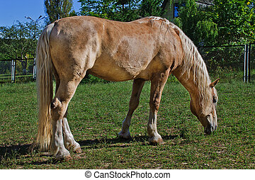 palomino horse grazes in a meadow closeup