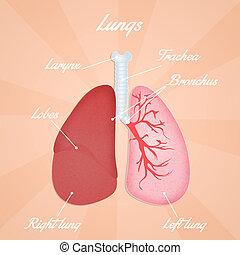 Ilustración, Pulmones