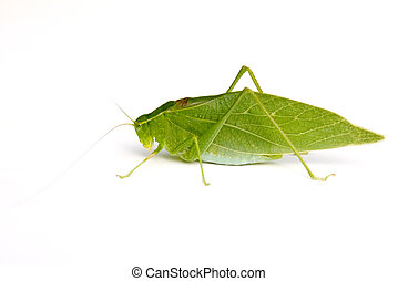 Katydid - Anglewing Katydid Microcentrum retinerve isolated...