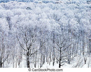 oak trees covered by snow in winter morning