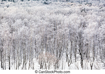 birch grove covered by snow in cold winter day
