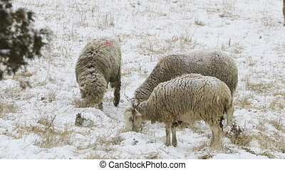 Sheep in a snowy field in winter