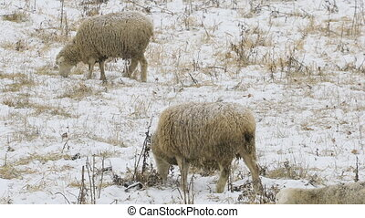 Sheep feeding in field in winter - Some sheep feeding in...