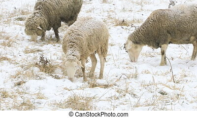 Sheep grazing in field in winter - Some sheep grazing in...
