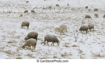 Flock of sheep feeding in field in snow