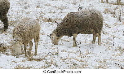 Sheep grazing in field in snow - Some sheep grazing in field...