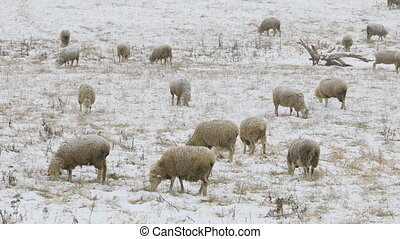 Flock of sheep feeding in field in snow - A Flock of sheep...