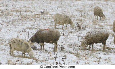 Sheep feeding in field in snow - Some sheep feeding in field...