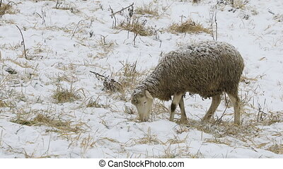Sheep in a snowy field
