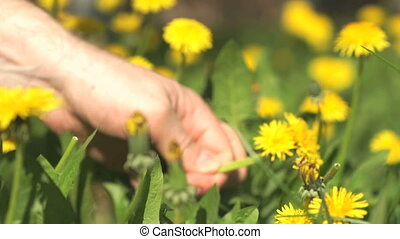 Man picking a bouquet of yellow dandelions