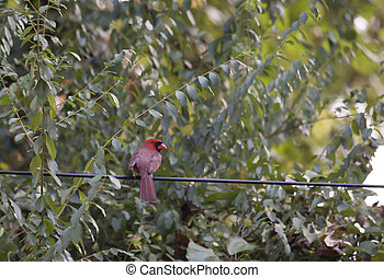 Bird on a Wire - Male cardinal on a wire
